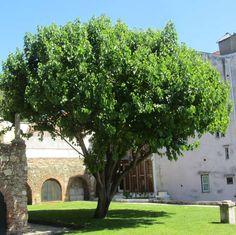 Morus nigra - Schwarzer Maulbeerbaum