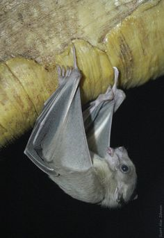 Egyptian Fruit  Bat..... I saw these bats When I visited some ruins in Egypt.