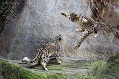 Snow leopard pounce