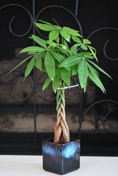 Crassula ovata. Aka jade plant. Like my name:) always loved these ...