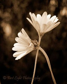 Sepia Flower Photograph - black, white, delicate - The Caress by FirstLightPhoto on Etsy https://www.etsy.com/listing/49953047/sepia-flower-photograph-black-white