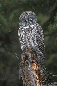 ☀Great Gray Owl (Strix nebulosa) LIFER by Critter Seeker