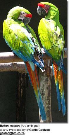 Buffon macaws (Ara ambigua) - awesome animals