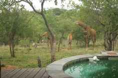 Giraffe and Zebra around the House on Raptors View Wildlife Estate House Property, Property For Sale, Viewing Wildlife, Close Proximity, Close To Home, Raptors, Astronomy, Giraffe