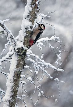 Great Spotted Woodpecker on snow covered tree by Margaret J Walker on Flickr.