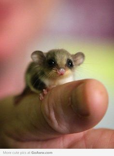 Sugar Glider (Petaurus Breviceps)   I want one!