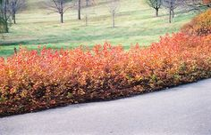 Click to view full-size photo of Gro-Low Fragrant Sumac (Rhus aromatica 'Gro-Low') at New Garden Landscaping & Nursery