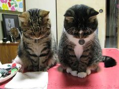"Polite Japanese kitties bowing to say ""yoroshiku""!"