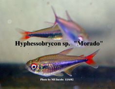 "Hyphessobrycon sp. ""Morado"""
