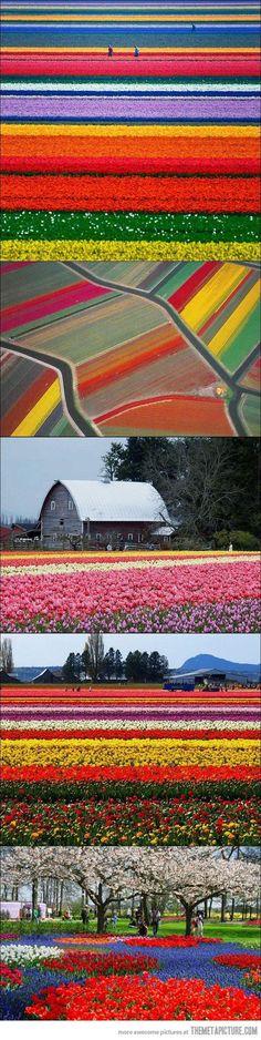 funny flower fields Netherlands colors
