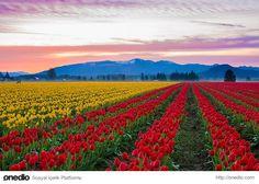 26. Skagit Vadisi Lale Tarlaları, ABD