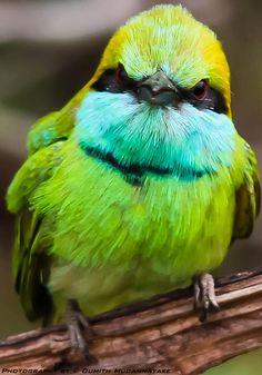 Green Bee-eater @ Yala, Sri lanka — at Yala National Park.
