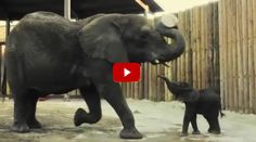 This baby elephant may only be one month old, but she is sure full of energy! She runs around and romps and plays like a baby puppy! Watching her trail after her mother is super sweet, too. Finally baby girl has tired herself to bits as she collapses into a puddle. So funny! I want [...]