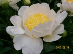 """PEONY hybrid 'Claire de lune' this plant is almost 48"""" tall ...such a wonderful plant, and it looks great in pictures !"""