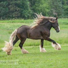 Draft horse :: Silver dapple Gypsy Vanner Horse stallion