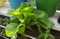 backoffice&more - Projekte - Nahversorgung Region Elsbeere Wienerwald - vertical gardening Gardening, Lettuce, Vegetables, Projects, Lawn And Garden, Vegetable Recipes, Salads, Veggies, Horticulture