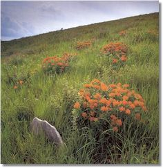 Butterfly milkweed delights the eye in      this photo of a hillside in Chase      County.     Photograph ©      by Daniel Dancer