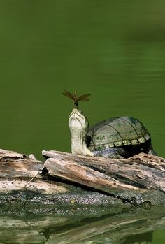 Turtle with Dragonfly by ajct