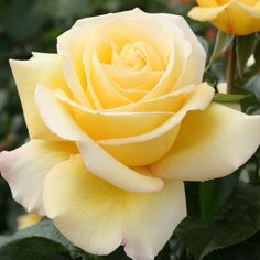 Excellent No Cost Hybrid Tea Roses in pots Popular A mix of both tea is definitely the older band of red roses classified as modern day back garden roses. Beautiful Rose Flowers, Pretty Roses, Love Rose, Flowers Nature, Exotic Flowers, Orange Roses, Yellow Flowers, Red Roses, Roses Only