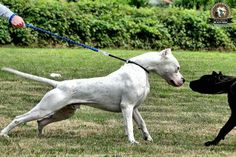Dogo Argentino total capone !!!