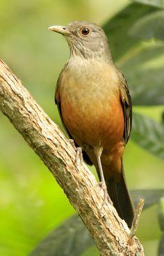 Foto sabiá-laranjeira (Turdus rufiventris) por Bruno Neri | Wiki Aves - A Enciclopédia das Aves do Brasil