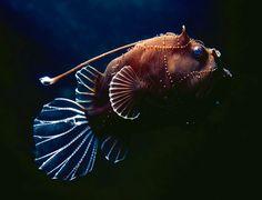 Deep-sea Anglerfish, Osprey Reef, Australia by Queensland Brain Institute