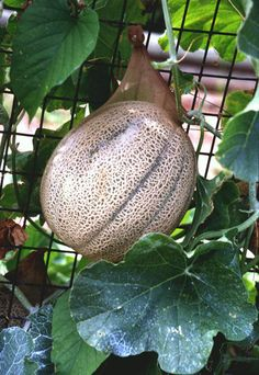 Growing Vine Crops in Limited Spaces: Provide extra support for cantaloupes, watermelon and pumpkins by using nylon stockings or fish net. Plus suggested varieties with smaller fruit.