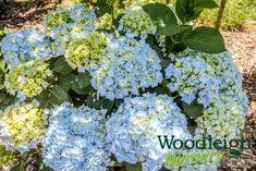 Hydrangea macrophylla Hopaline Hydrangea Macrophylla, Plymouth, Perennials, Nursery, Vegetables, Baby Room, Hydrangeas, Vegetable Recipes, Child Room