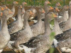 Elevage de #canards en plein air en plein #gers... #gastronomie