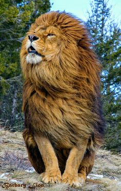 #LION - Big Cat Tap the link Now -  All Things Cats! - Treat Yourself and Your CAT!  Stand Out in a Crowded World!