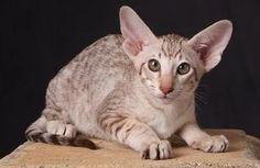 Stunning Oriental & Siamese Kittens - Cats & Kittens For Sale ...
