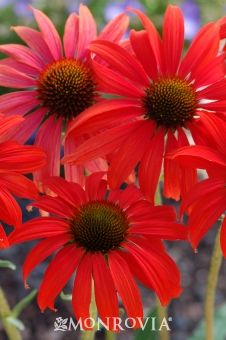 Butterflies love the brightly colored Tomato Soup Coneflower, it's a perfect spot to perch and rest.