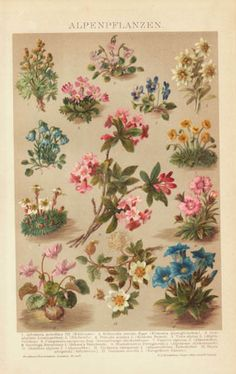 1898:  Chromolithograph depicting 13 kinds of flowers from the Alps. @rubylanecom #rubylane