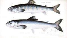 Animal - Fish - Salmon - Educational plate - eleven and twelve months