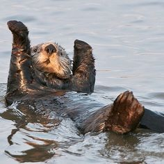 Yippy Yay!!! Happy Day!!! Tomorrow is Friday!!! Yesterday near the Moss Landing Marina I caught this cute little Sea Otter enjoying a rare, warm sunny day. Monterey Bay and Elkhorn Slough are two areas with some of the highest concentrations of the California Southern Sea Otter (one of three subspecies) in the world. Once there were hundreds of thousands living all along the Pacific coast, but they were almost brought to extinction during the 1800's because of being hunted for their…