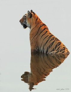 A tiger's stripes are as unique as fingerprints. They can be used to identify each individual wild tiger. Nature Animals, Animals And Pets, Cute Animals, Wild Animals, Wildlife Nature, Baby Animals, Wildlife Park, Beautiful Cats, Animals Beautiful