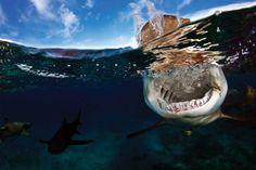 Lemon shark betwixt & between.