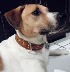 lab jack russell pit mix - photo #14