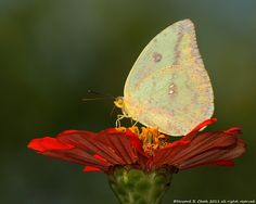Cloudless Sulphur (L'Image Magazine) by HowardCheekPhotography.com, via Flickr