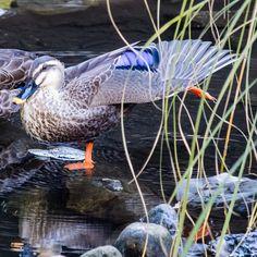 腕うでを振ってあしをまげのばす運動  #ラジオ体操 #カモ#カルガモ#duck #鳥#野鳥#Wildbird#bird#birdwatching #動物#animal #かわいい#kawaii#cute #風景#自然#景色#picture#landscape#nature #東京#日本#tokyo#japan#love#loves_nippon #写真好きな人と繋がりたい #一眼レフ