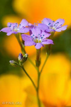 Little Desert Wildflowers