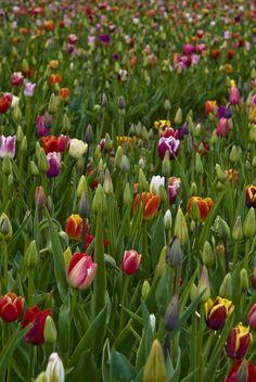Tulip Field #tulips, #flowers, #bestofpinterest, https://facebook.com/apps/application.php?id=106186096099420