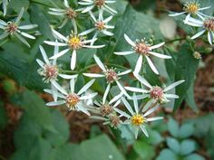 White Wood Aster-Eurybia divaricata (L. Nesom - My mom's yard is saturated with this delicate beauty. I am waiting for seeds :) Autumn Bride, Seed Bank, Native Plants, Geraniums, White Wood, Periwinkle, Delaware, Hydrangea, Shrubs