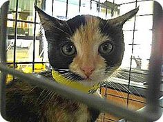 Pet Adoption has dogs, puppies, cats, and kittens for adoption. Adopt a pet Downey California, Pet Adoption, Kitten, Meet, Puppies, Cats, Blog, Animals, Cute Kittens