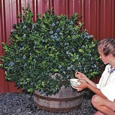 Plants, Fruit garden, Blueberry bushes, Garden containers, Garden veggies, Veggie garden - Northsky Dwarf Blueberry is the hardiest variety that we offer and can withstand temperatures up to minus 4 - #Plants