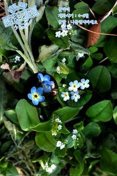 ▶개화주의보(040) 꽃마리 → http://fb.com/blooming.news/photos/1710200862594087