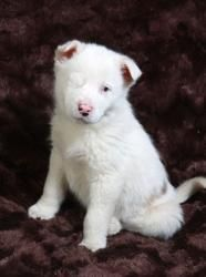 Helena Aussie: Australian Shepherd, Dog; Cabool, MO