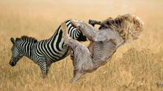 Lion Immediately jumped on Zebra to grasp on his legs, Can Lion take zebra down? Nature Animals, Animals And Pets, Funny Animals, Cute Animals, Animal Action, African Animals, Wild Creatures, Funny Animal Videos, Animal Photography