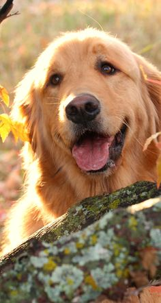 ♥︎ ~ GOLDENS' HAVE THE BEST EXPRESSIONS ~