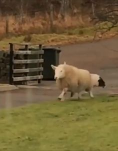 This sheep plays with her dog friends in the cutest way 💞 Video by ©Jemma Mackenzie via Cute Little Animals, Cute Funny Animals, Cute Cats, Animal Antics, Animal Jokes, Cute Animal Videos, Funny Animal Pictures, Animal Fun, Cute Creatures